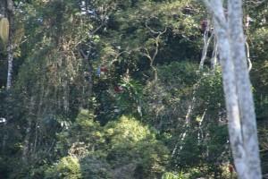 Papageienanflug im tropischen Regenwald